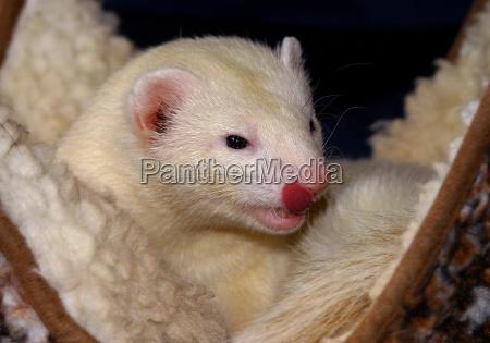zwierze zwierze domowe ssak drapieznik marder