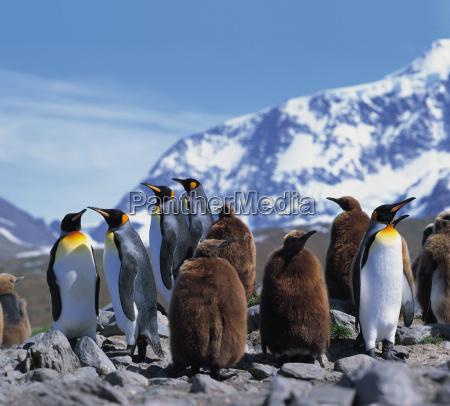 krol pingwiny