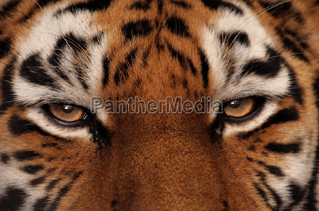 oko tygrysa