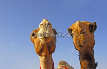 wielblady w arabii saudyjskiej