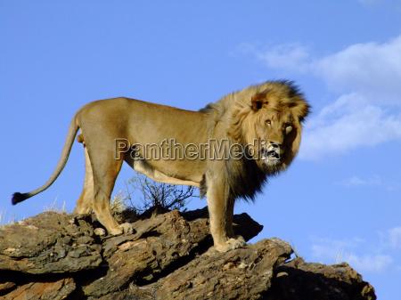 krol zwierzat