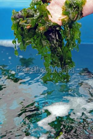 reka kultura palm alga meersalat meeresalge