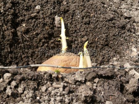 architektura ziemniaczanej erdapfel kielkujacych kartofel ziemniak