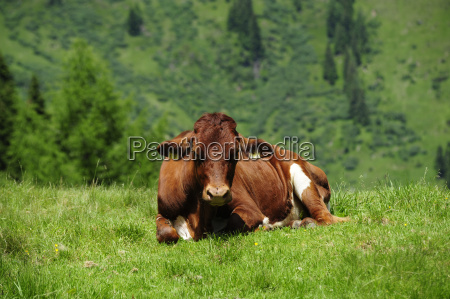 alm krowa skorka alpe wiezba almwirtschaft