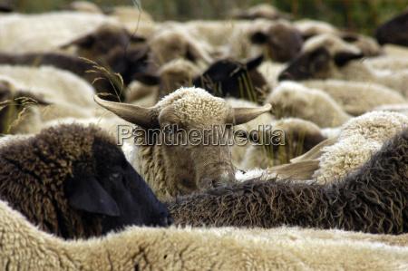 owceowcezwierzat hodowlanychzwierzat hodowlanychhodowli zwierzathodowli zwierzathodowli zwierzatrolnictwozwierzetazwierzat