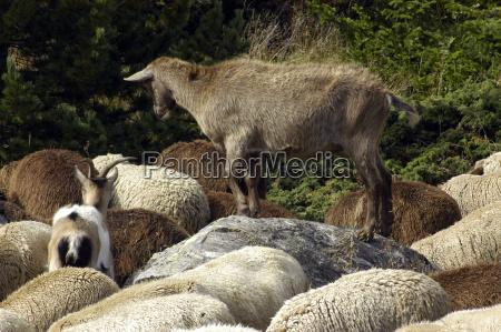 gospodarstwo rolnictwo owiec owca zwierzeta gospodarskie