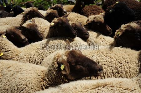 owceowcezwierzeta gospodarskiezwierzat gospodarskichhodowla zwierzathodowla zwierzathodowla zwierzatrolnictwozwierzatzwierze
