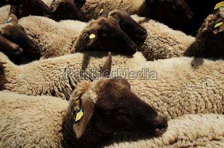 owieczwierzat gospodarskichzwierzat gospodarskichhodowla zwierzathodowla zwierzathodowla zwierzatrolnictwozwierzetazwierze