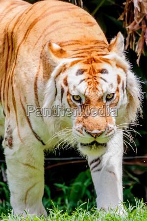 starzenie tiger
