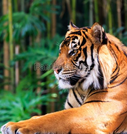 kot kot drapiezny tygrys bengalski sumatran