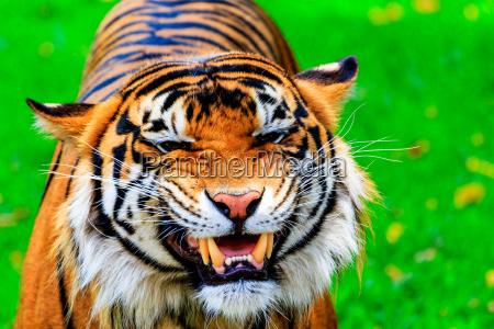szczerzac tiger