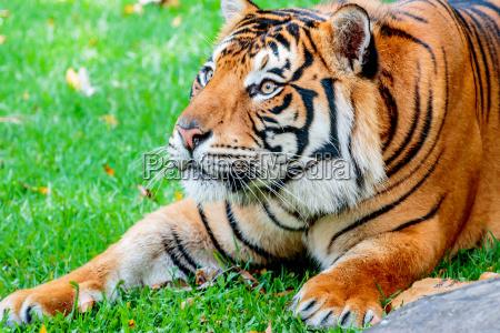 pre bawelniopon tiger