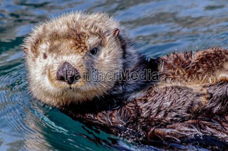wydra morska