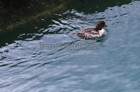 zwierze ptak kaczka fowl ring necked