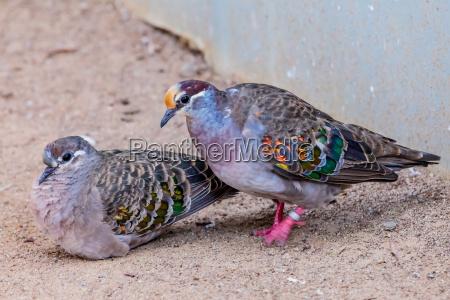 ptak golab common bronzewing