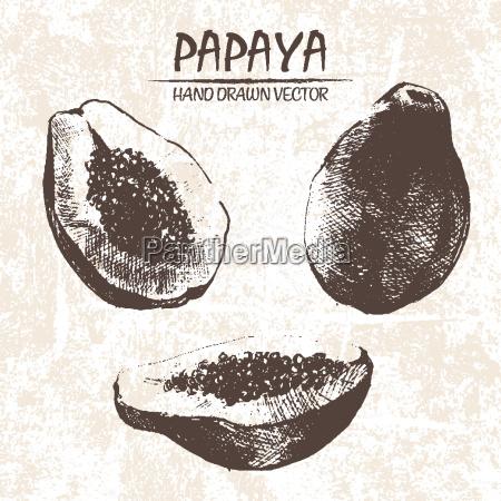 cyfrowy wektor szczegolowe papaja recznie rysowane